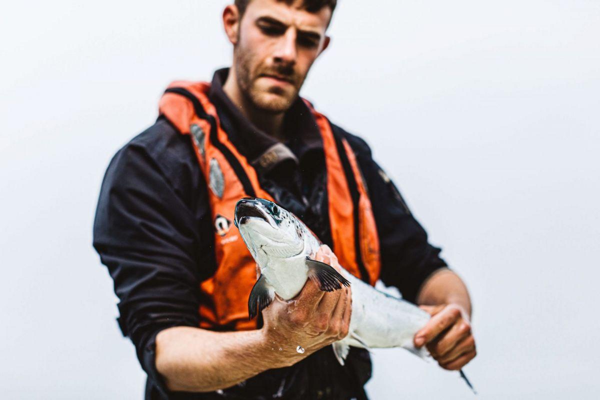 inspecting farmed salmon