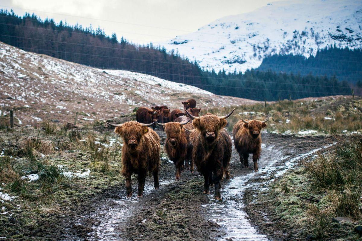 Highland cattle in Scotland
