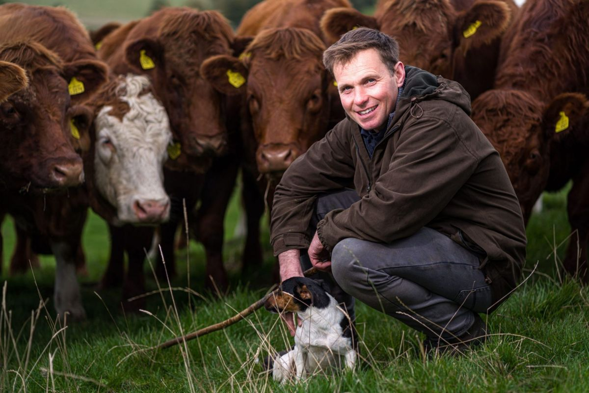 beef farmer with Luing cattle