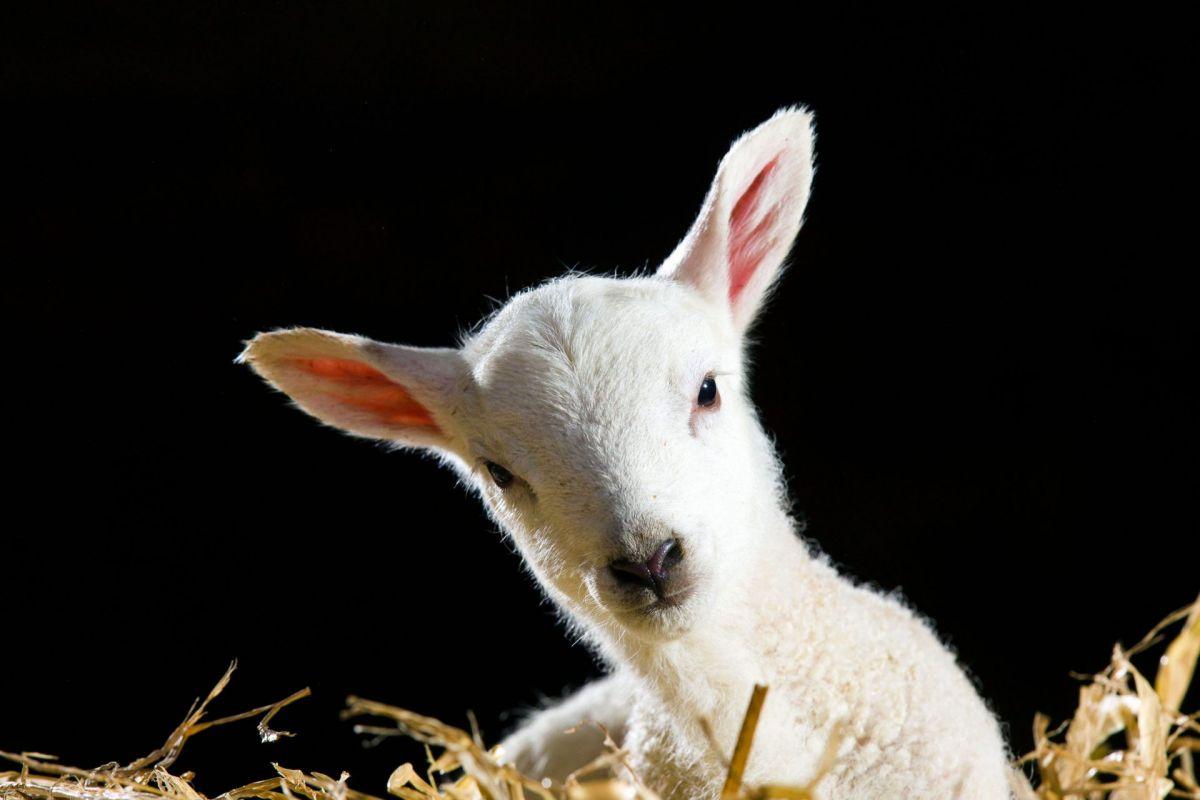newly born spring lamb