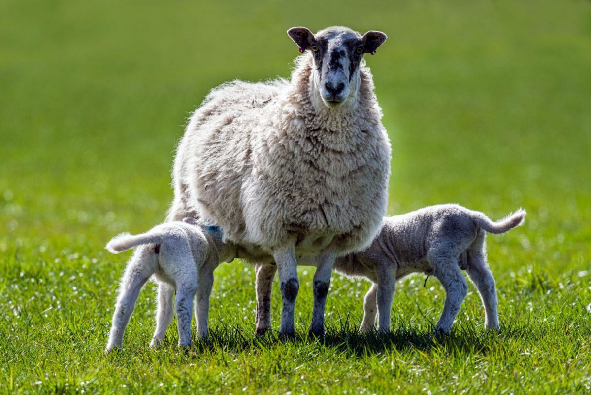 Ewe feeding her two lambs in Spring