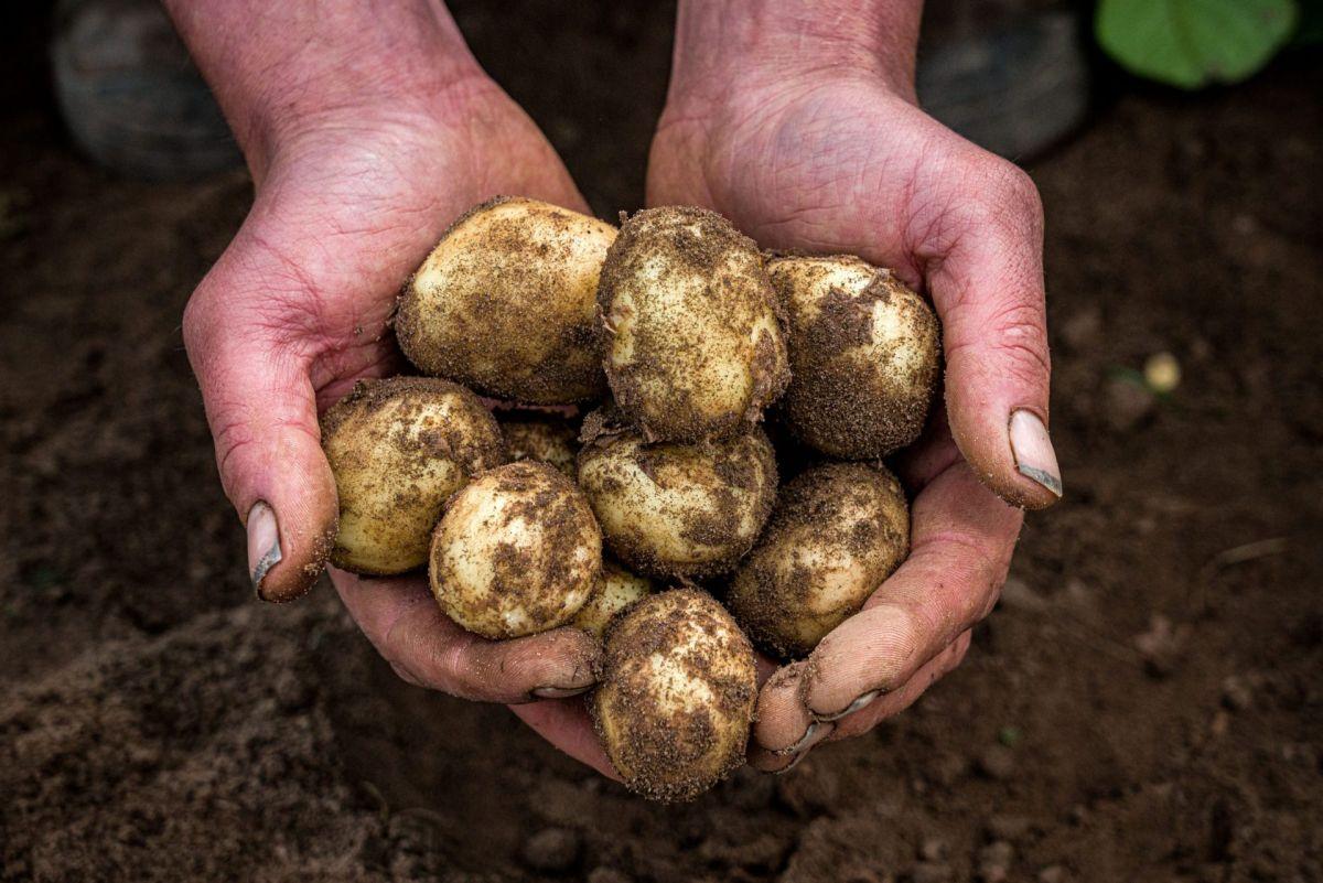 Ayrshire potatoes freshly dug