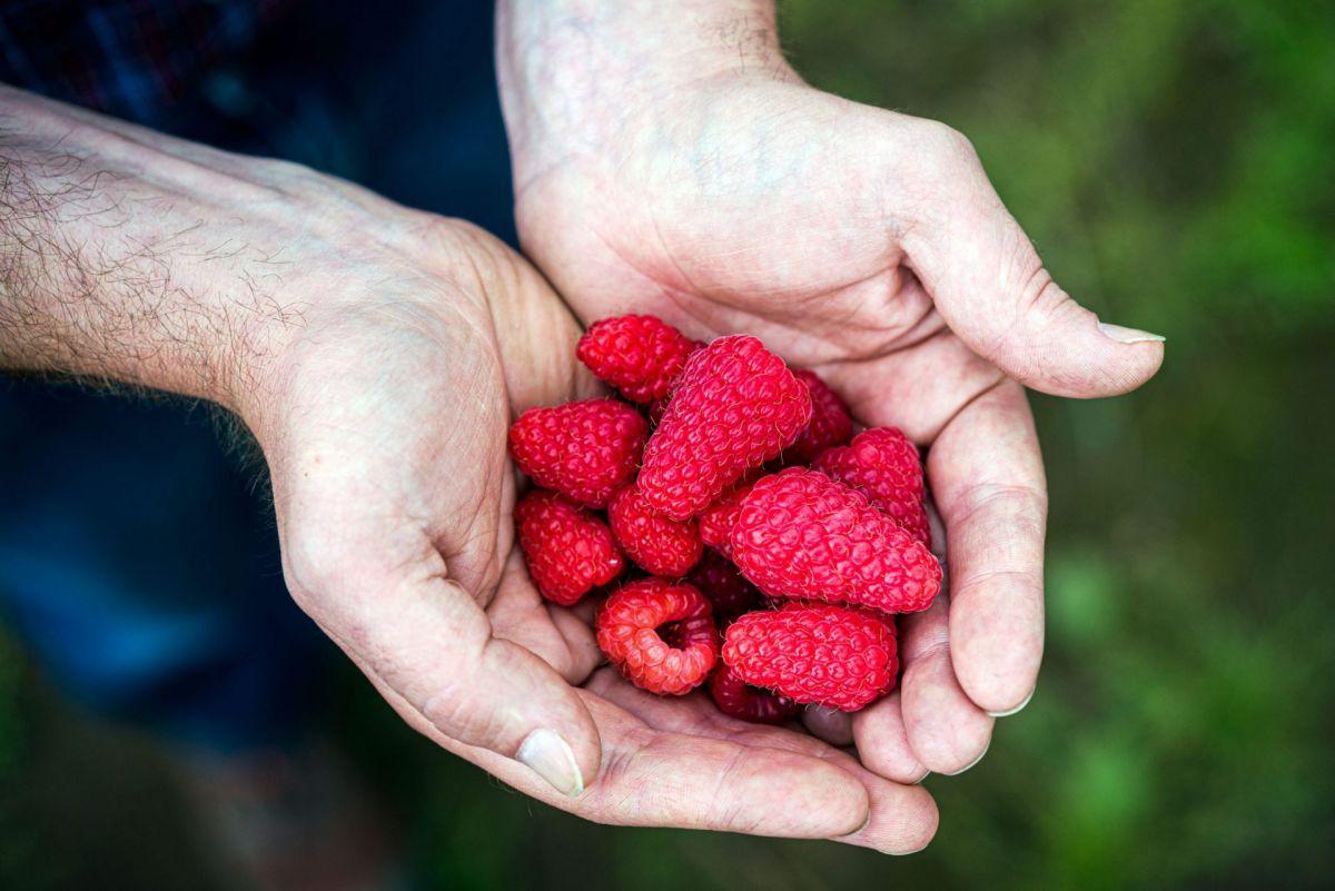 raspberries in producers hands