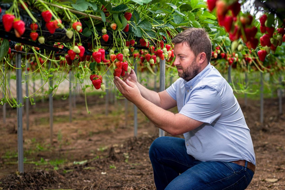 strawberry producer checking fruit