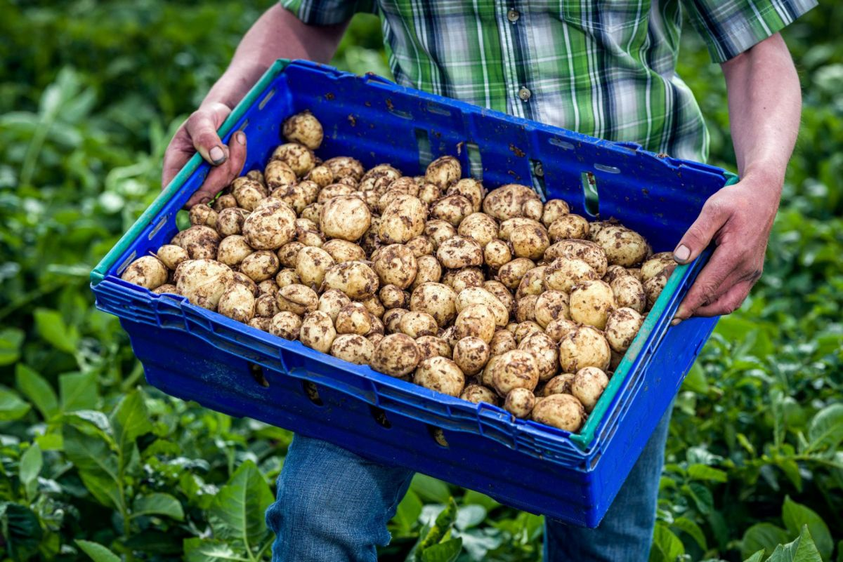 producer holding tray of Ayrshire potatoes