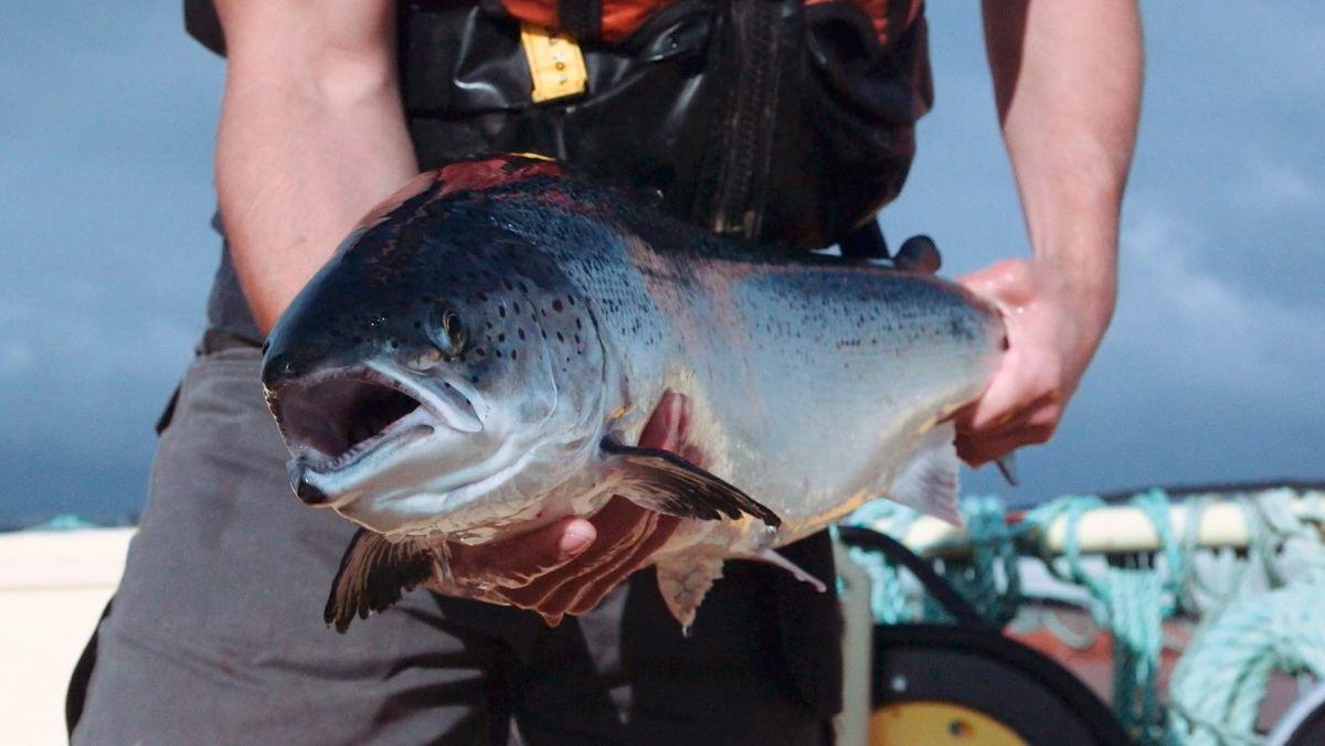 scottish salmon video